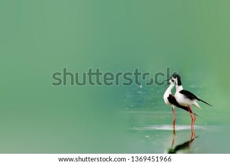 Beautiful Black-winged Stilt #1369451966