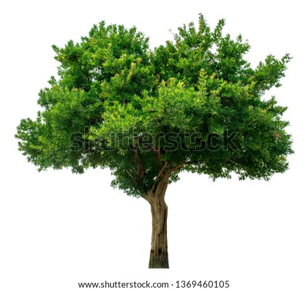 The green sacred tree is completely separated from the white background. Scientific name Maerua siamensis (Kurz) Pax. Royalty-Free Stock Photo #1369460105