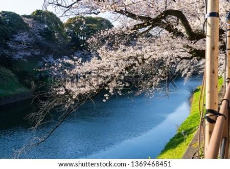 Cherry blossom at chidorigafuchi, Tokyo, Japan #1369468451