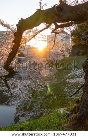 Chidorigafuchi early in the morning and Cherry blossom, Tokyo Japan #1369477031