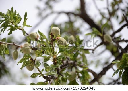 fresh almonds on tree, Costa Blanca, Spain #1370224043