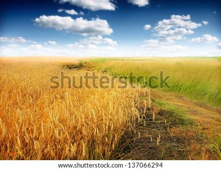 Wheat field against a blue sky #137066294