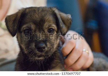 Adopted 01-month old puppy looking at the camera picking up the entire face and back in the lap of the adoptive mother, her hand on her back and the slightly blurred background taken in April 2017. #1370697707