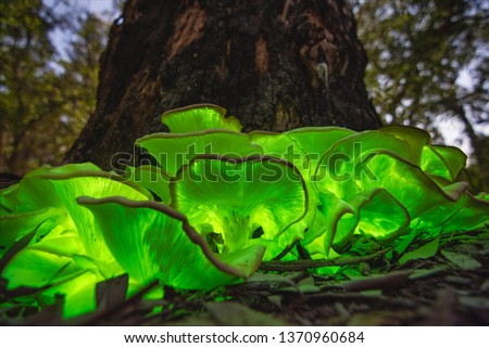 bioluminescent Ghost mushroom (Omphalotus nidiformis) full moon Thirlmere lakes National park, NSW , Australia. #1370960684