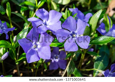 Beautiful purple flowers of vinca on background of green leaves. Vinca minor (small periwinkle, small periwinkle, ordinary periwinkle) as decoration of  garden. Close-up. Concept of nature for design. #1371003641