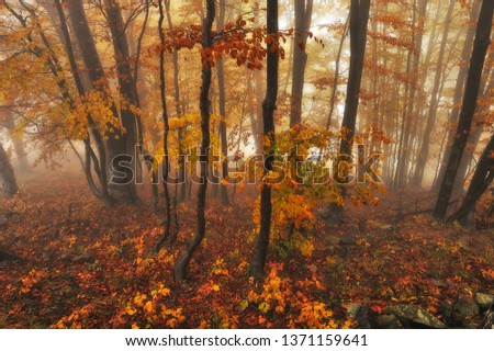 fairy forest. picturesque Carpathian forest. autumn foggy morning  #1371159641