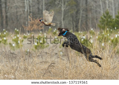 Hunting dog on point Royalty-Free Stock Photo #137119361