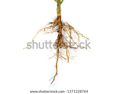 Roots of plant isolated on white background, tree roots #1371228764