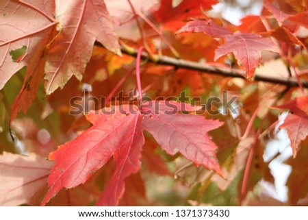 Autumn leaves in the Trees              #1371373430