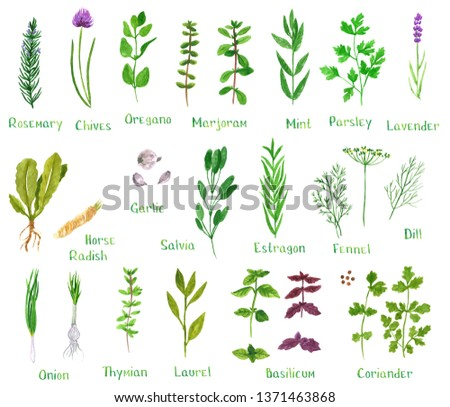 Set of green herbs, hand drawn watercolor illustration isolated on white. Dill, basil, laurel, chives, onion, oregano, parsley, rosemary, sage, marjoram, horseradish, mint, fennel, coriander, estragon #1371463868