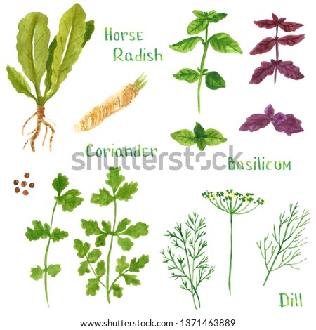 Set of green herbs, horseradish, basil, coriander, parsley, dill, fennel, hand drawn watercolor illustration isolated on white #1371463889