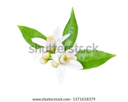Orange tree white fragrant flowers, buds and leaves isolated on white. Neroli blossom. #1371658379