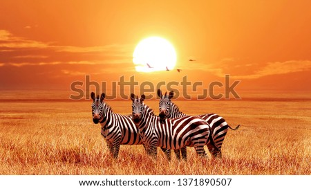 African zebras at beautiful orange sunset in the Serengeti National Park. Tanzania. Wild nature of Africa. Royalty-Free Stock Photo #1371890507