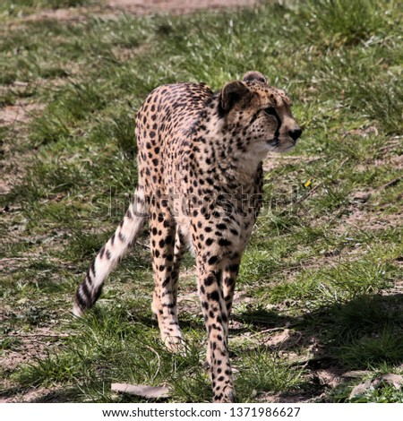 A picture of a Cheetah