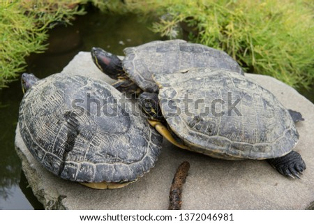 An Island of turtles basking in the sun on top of a mountain in Japan  #1372046981