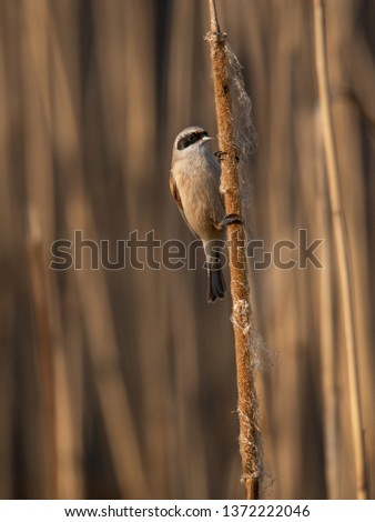Beautiful nature scene with Eurasian Penduline Tit (Remiz pendulinus). Wildlife shot of Eurasian Penduline Tit (Remiz pendulinus) on the grass. #1372222046