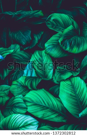 leaves of Spathiphyllum cannifolium, abstract green texture, nature background, tropical leaf #1372302812