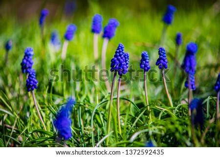 Wild hyacinth flowers in a field in spring time forest #1372592435