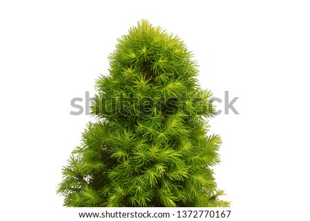 Canadian spruce Picea glauca Conica branch isolated on white background. Coniferous tree, fir, evergreen. Christmas tree. New Year. Flat lay, top view #1372770167