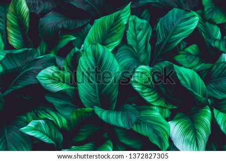 leaves of Spathiphyllum cannifolium, abstract green texture, nature background, tropical leaf #1372827305