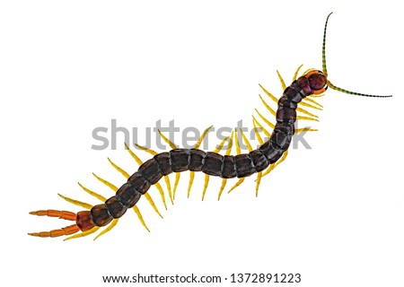Scolopendra cingulata, also known as Megarian banded centipede, and the Mediterranean banded centipede. Isolated on white Royalty-Free Stock Photo #1372891223