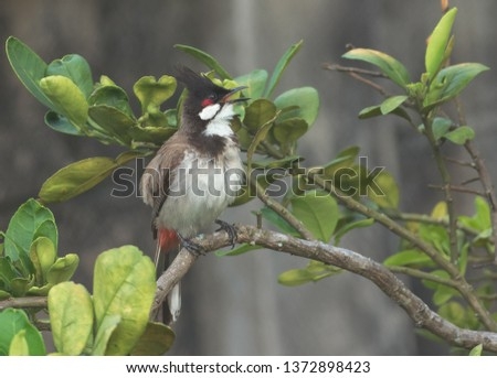 One Red-whiskered Bulbul sitting on the branch of the grape-fruit tree. #1372898423
