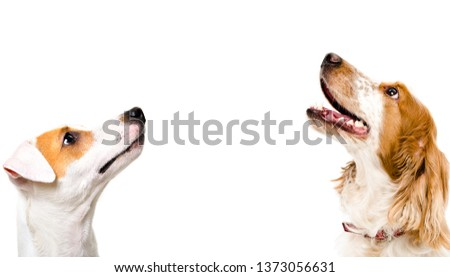 Portrait of cute dog Jack Russell Terrier and Russian Spaniel, side view, isolated on white background #1373056631