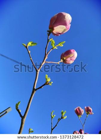 Magnolia flowers and blue sky #1373128472