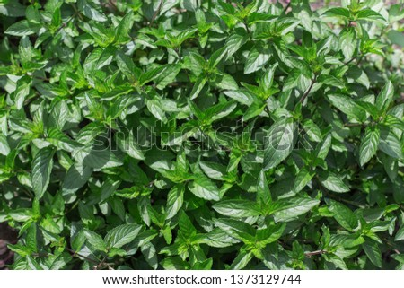 Aromatic mint growing in the garden. Fresh green leafs close up. #1373129744