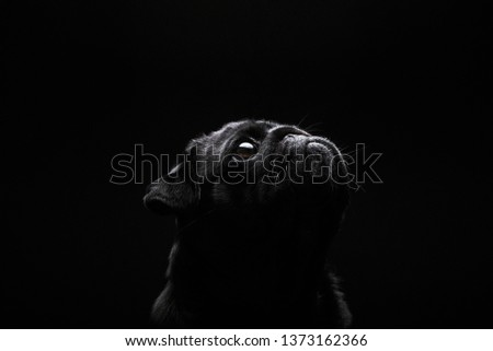 Mysterious black pug looking up. Black background, low key light. Cute and adorable at the same time.