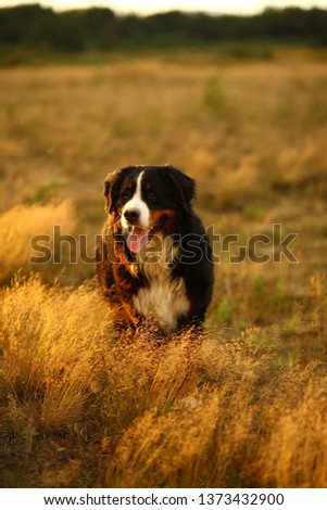Portrait of bernese mountain dog standing in the yellow field and looking away #1373432900