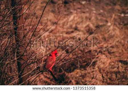 Northern cardinal posing for a picture; Beautiful redbird out in the sun on a warm spring day; Ontario, Canada