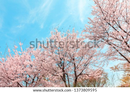 Beautiful cherry blossom in springtime over blue sky. #1373809595
