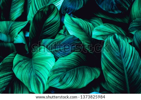leaves of Spathiphyllum cannifolium, abstract green texture, nature background, tropical leaf #1373825984