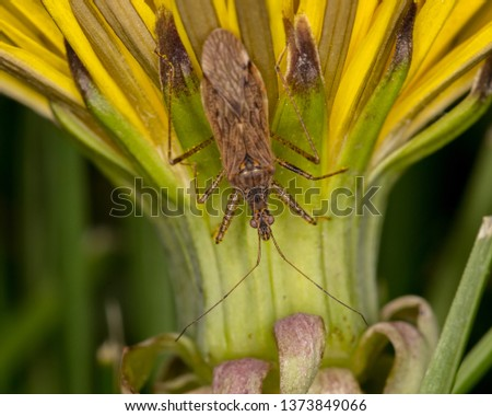 Macro photograph of an Assassin bug climbing down the side of a dandelion