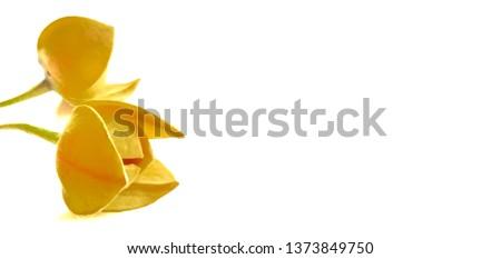 Melodorum fruticosum lour on a white background #1373849750