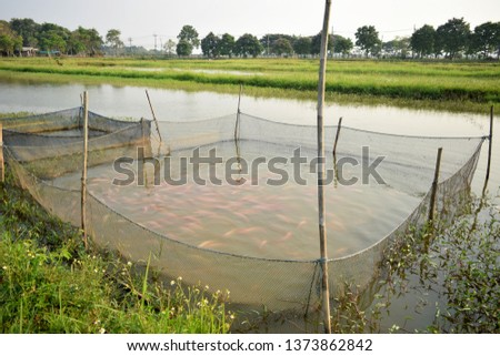 this pic show a lot of Red tilapia fish swimming in cage hanging on earthen pond, aquaculture concept.