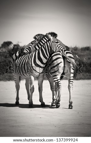 Zebras resting their heads on each other #137399924