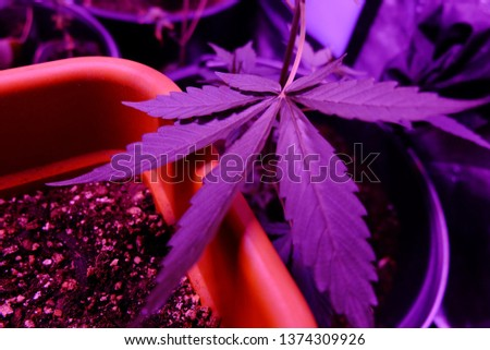 Marijuana leaf close up #1374309926