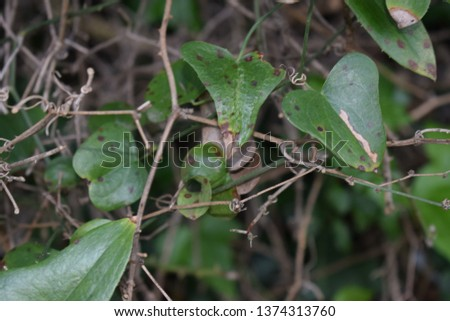Smilax aspera plant #1374313760
