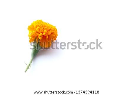 Orange marigold flower isolated on white background. Orange Marigold flower, Tagetes erecta, Aztec marigold, African marigold isolated on white background  background. #1374394118