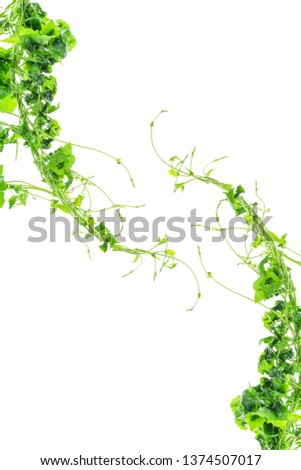 Heart shaped green leaves twisted vines liana jungle plant isolated on white background with clipping path. #1374507017