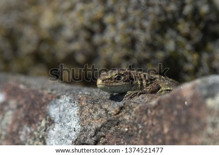 Common Lizard on a drystone wall #1374521477