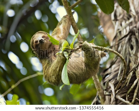 Pale-throated sloth (Bradypus tridactylus) is a species of three-toed sloth that inhabits tropical rainforests in northern South America.