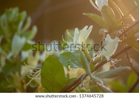 White and yellow honeysuckle #1374645728