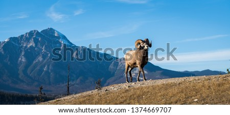 Bighorn rams in the mountains #1374669707