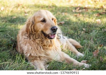 old golden retriever dog #1374690911