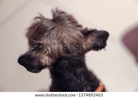 Artistic picture with a lot of bokeh of a yorkie dog's head seen from behind