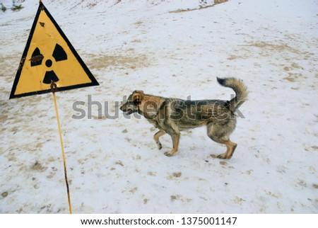 Radiation warning sign. Stray dog living in the Chernobyl zone. #1375001147