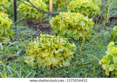 Green Oak Lettuce salad on the ground #1375056452